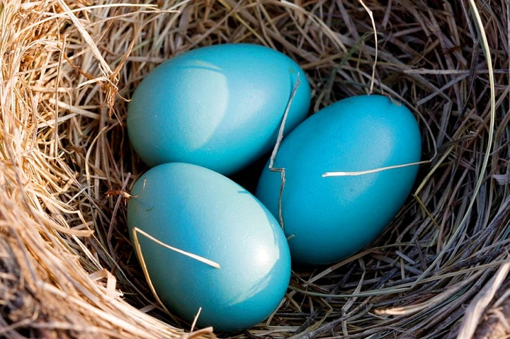 Three Robin blue eggs in Robins' nest with sunshine, Ontario, Canada